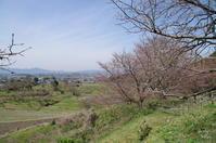天理市崇神陵丘の畑の桜 - ぶらり記録 2:奈良・大阪・・・