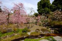 城南宮の枝垂れ梅 - ぴんぼけふぉとぶろぐ2