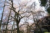 桜2020 - nyan5 blog