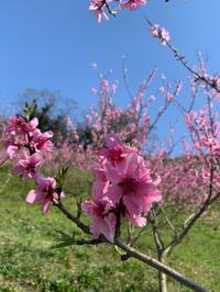桃の花 - 自然栽培 果樹カナン