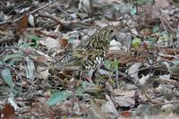トラツグミ、コゲラ@谷戸山公園 - 青爺の野鳥日記