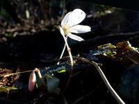 水辺の春の妖精たち - 清治の花便り