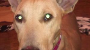 しわしわーずの母犬くるみのお預かりさん、緊急募集しています! -