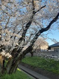 桜☆さくら☆サクラ☆SAKURA - 占い師 鈴木あろはのブログ