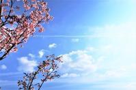 河津桜 - 都忘れと忘れな草