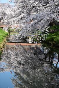満開の桜を堪能 - 季節の映ろひ