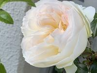 夕方の薔薇ボレロとその他 - いととはり
