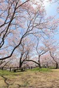 穴観音公園のコヒガンザクラ - ecocoro日和