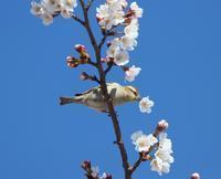 花びら廻したよ、、 - ぶらり探鳥