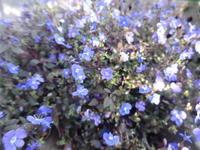 ブルーベリーカクテル - だんご虫の花