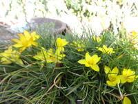 黄花花韮 - だんご虫の花