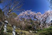 2020桜巡り@岩屋寺 - デジタルな鍛冶屋の写真歩記