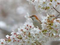 ニュウナイスズメ - 『彩の国ピンボケ野鳥写真館』