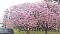太田市丸山町 陽光桜2020 - 群馬県太田市