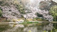 3月27日 これで見納め桜ん歩⑤  じゅんさい池 - マルコの日記