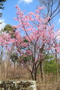 陽光桜 - 平凡な日々の中で