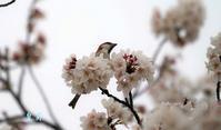 なかなか桜の花びらを回してくれないです。誠 - 皇 昇