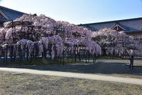 大きなしだれ桜天理教本部 - 峰さんの山あるき