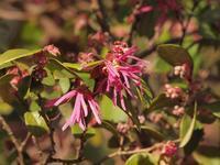 『紅花常盤万作(ベニバナトキワマンサク)と春蘭(シュンラン)等・・・・・』 - 自然風の自然風だより
