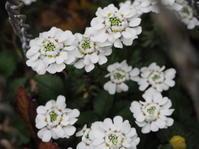 3月の庭白い花 - グリママの花日記