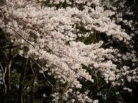 カタクリの泉自然公園 - 花と葉っぱ