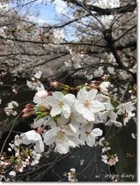 目黒川の散歩♪ - **いろいろ日記**