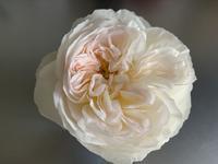 今年1番咲きの薔薇ボレロ - いととはり