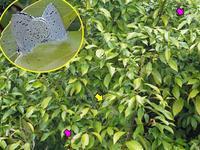 アラカシに執着するルリシジミ - 秩父の蝶