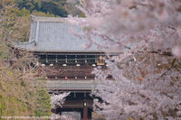 知恩院までの道程にて、桜 - はんなり京都暮らし