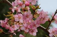 河津桜が咲きました~🌸 - みい写日記☆