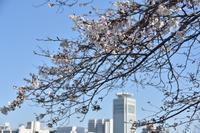 桜2020ヴェルニー公園3月25日 - 素顔のままで