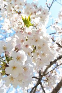 ◆デコパージュ*桜の季節に♬桜のつやつやボンボニエール - フランス雑貨とデコパージュ&ギフトラッピング教室 『meli-melo鎌倉』