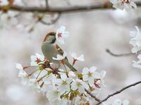 続・ニュウナイスズメ - 『彩の国ピンボケ野鳥写真館』