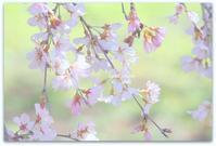 桜人 - 366日の恋するカメラ