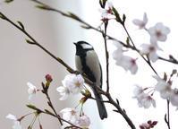 カシラダカ・シジュウカラ・ヒヨドリ・・・八王子 - 浅川野鳥散歩
