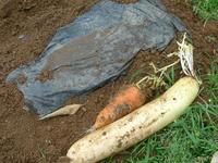 トウ立ち前の大根の保存・里芋の保存 - HANA 花♪菜園日記