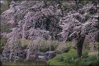 春満開 - 薫の時の記憶