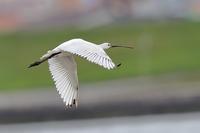 ヘラサギ・アカハラ・カンムリカイツブリ - 野鳥の視線