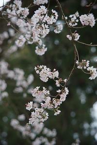 桜が咲く - THE FL LENS WAKU WAKU Mark II