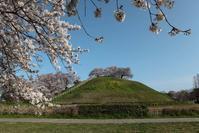 行田市さきたま古墳の満開の桜その2 - 日本あちこち撮り歩記