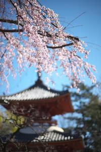 喜多院の春 - Today's one photograph