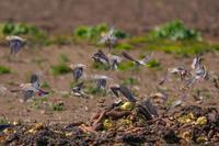 芋連雀 - 野鳥などの撮影記録