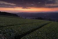 茶畑の朝 - katsuのヘタッピ風景