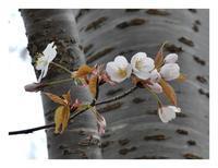 桜と雑草といわれる花(3/27) - あおいそら