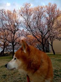 櫻2020#04 夕暮れ - Yoshi-A の写真の楽しみ