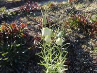 貝母 - だんご虫の花