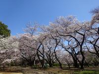 新宿御苑でお花見散歩・・・しちゃいました。 - マイニチ★コバッケン