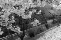 雪桜 - モノクロ備忘録