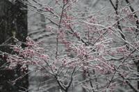 雪に桜3/30 - つくしんぼ日記 ~徒然編~