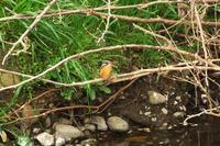 N川のカワセミ、3月下旬の観察記。 - 小川の野鳥達